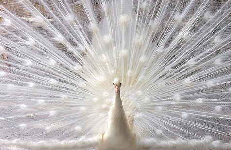 Okay, I know they don't use albino peacock feathers, but isn't this pretty?